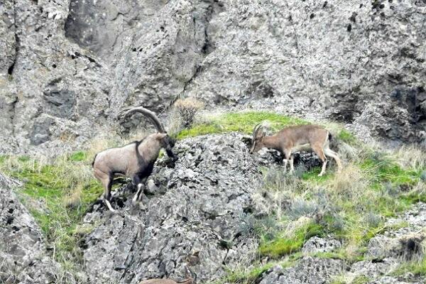 وجود ۳۷۴ راس کل و بز در منطقه حفاظت شده آق داغ خلخال / افزایش ۲۵ درصدی کل و بز در زیستگاه های جنوب استان اردبیل
