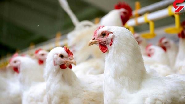 افزایش قیمت مرغ در مشهد/ یک مسئول : مازاد تولید مرغ داریم اما ناگهان گم میشود